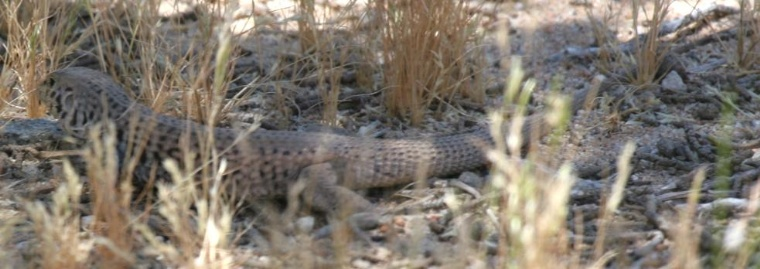 California Whiptail