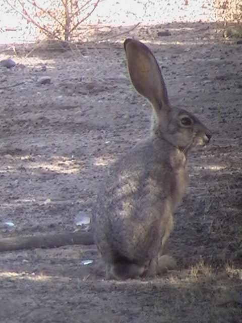 Black-tail Jackrabbit